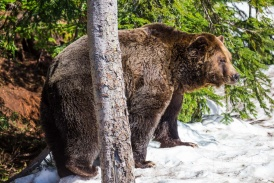 Grizzly at Grouse Mountain, Vancouver